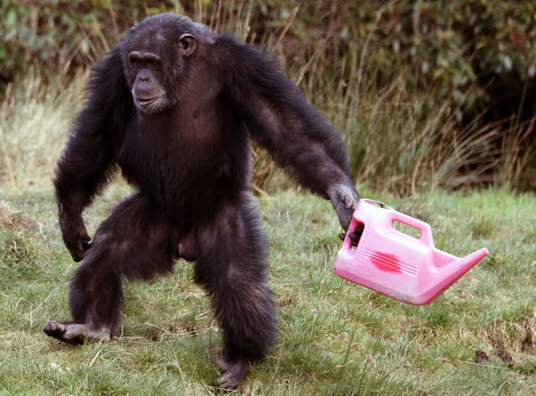 Chimp with watering can
