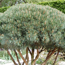bbc gardening plant finder walter pine. Black Bedroom Furniture Sets. Home Design Ideas