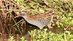 Water rail. Photo: Mike