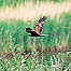 Marsh Harrier (Image c/o RSPB Images and Andy Hay)