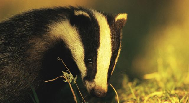 European badger (Image: Andrew Parkinson / NPL)