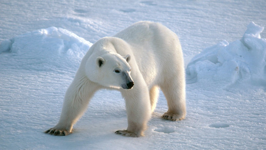 Image result for animals living in cold environments