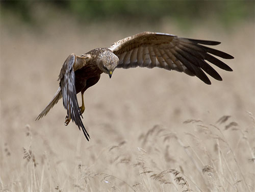Marsh harrier © Mark Ranner