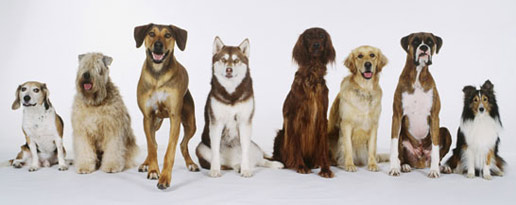 Different breeds of dogs sharing the same ancestor