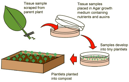 Asexual reproduction in plants gcse