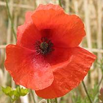 bbc gardening plant finder corn poppy