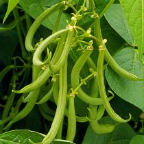 Bbc Gardening Plant Finder Dwarf French Bean