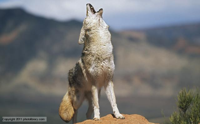 Coyote (Image: photolibrary.com)