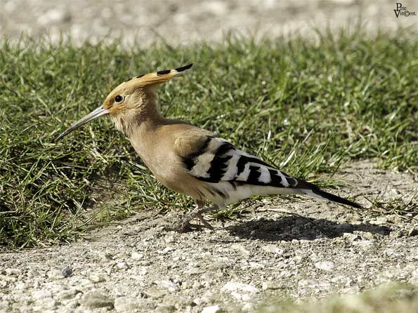 hoopoe by Pete Vincent