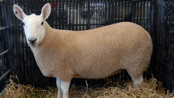 Champion of the North Country Cheviot Sheep, owned by W. & J. Thomson.