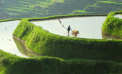 A farmer and his water buffalo ploughs in the rice terraces ©Phil Chapman