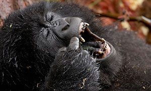 A young mountain gorilla scratching as it rests in the Virunga Volcanoes of Rwanda (image: BBC/Tigress Productions/Simon de Glanville)