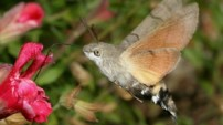 Humming-bird Hawk-moth by David Green