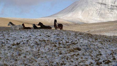 Welsh mountain ponies. Photo: Alwyn Roberts