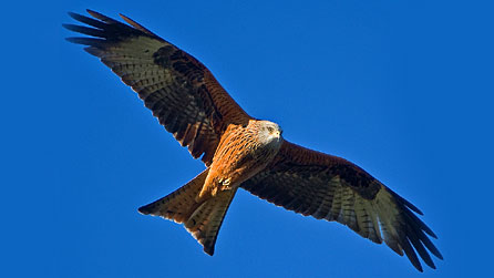 Red kite. Photo: Andrew Davies