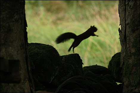 Squirrel leap Photo credit Mark Pinder