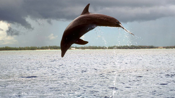 Dolphin leaping from an ocean