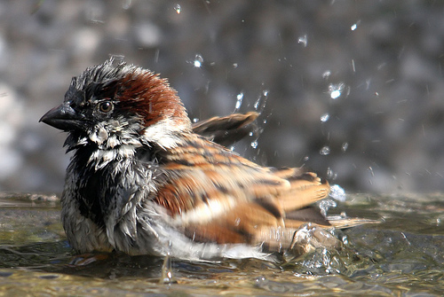 sparrow bath by Alan Tough