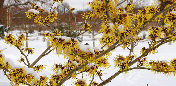 Bbc Gardening Blog Winter Flowering Trees And Shrubs