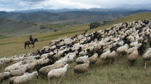 Herding stock in the Altai Mountains of Bulgaria