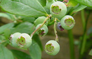 Images Of Blueberries Plant