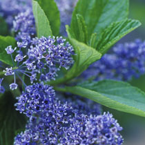 bbc gardening plant finder felt leaf ceanothus. Black Bedroom Furniture Sets. Home Design Ideas
