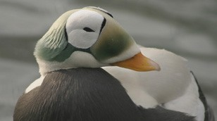 Spectacled Eider by Laura Whitehouse
