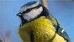 A blue tit snapped by Jeff Cohen
