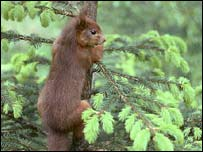Red squirrel on tree. Photo: Allan Potts and SoS