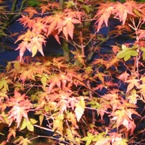 Bbc Gardening Plant Finder Japanese Maple