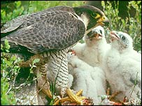 Peregrine with chicks (Pic: Chris Gomersall)