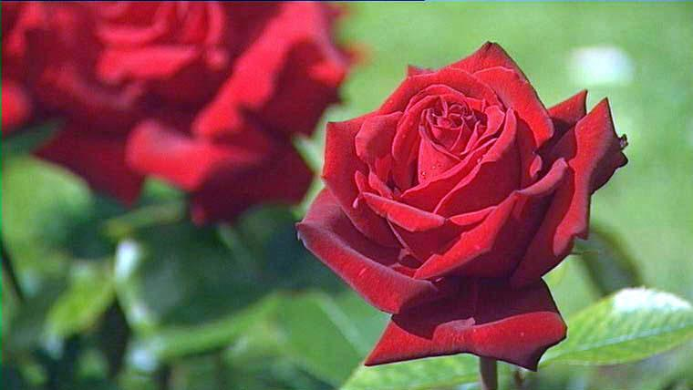 bbc gardening flower shows the perfect english rose. Black Bedroom Furniture Sets. Home Design Ideas