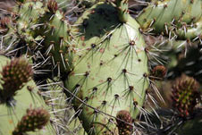 A detailed image of a cactus growing in California.