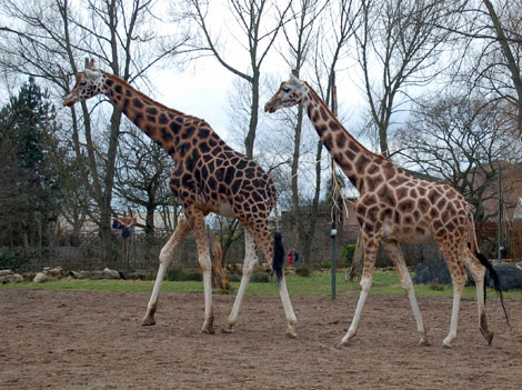 Three giraffes in a zoo