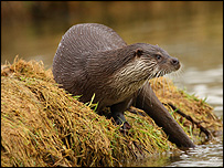 Alert otter on river bank