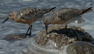 Red Knots by Stephen Lyle