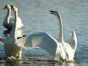 Slimbridge (Image: Bewick Swans c/o Wetlands and Wildlife Trust)