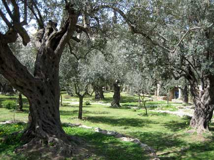 Ancient, gnarled olive trees in an informal grassed area