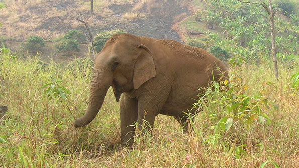 Young elephant in a hilly wood, eating