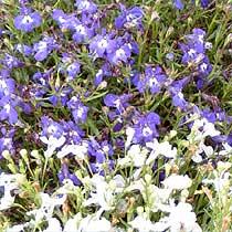 Bbc Gardening Plant Finder Lobelia