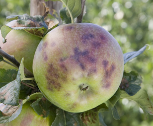 Common Apple Diseases