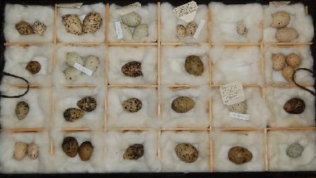 Part of Bangor University Museum's Egg Collection