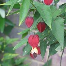 Bbc Gardening Plant Finder Trailing Abutilon