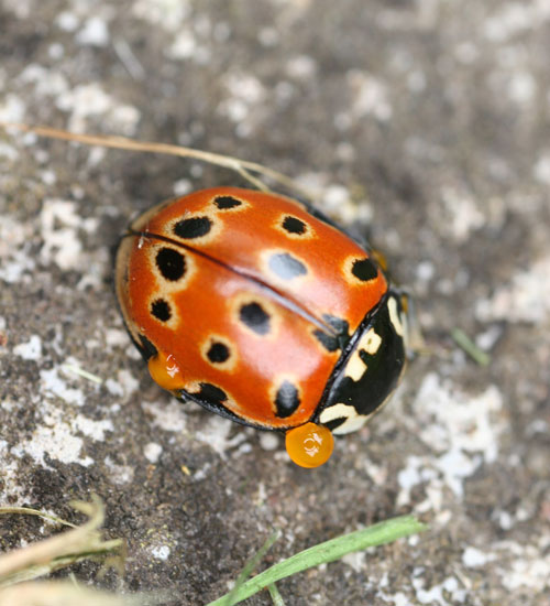 Eyed ladybird © Remy Ware