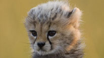 Toto the cheetah cub