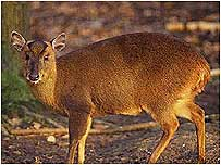 Muntjac Deer video (Deer image c/o English Nature and Paul Glendell)