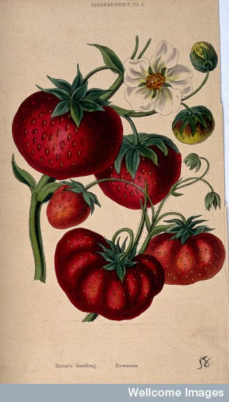 Downton and Keen's Seedlings strawberry drawing