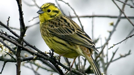 bbc wales nature wildlife yellowhammer. Black Bedroom Furniture Sets. Home Design Ideas