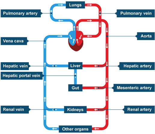 the processes of the human circulatory system Human physiology/the respiratory system 3 inspiration inspiration is initiated by contraction of the diaphragm and in some cases the intercostals muscles when they receive nervous impulses during normal quiet breathing, the phrenic nerves stimulate the diaphragm to contract and move downward into the abdomen.