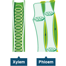 Xylem and phloem tissue diagram search for wiring diagrams bbc gcse bitesize xylem and phloem rh bbc co uk compare xylem and phloem xylem and phloem venn diagram ccuart Image collections